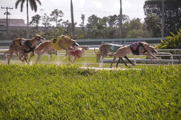 Article image for: MAIN EVENT AT PALM BEACH KENNEL CLUB NEARS THE FINISH LINE
