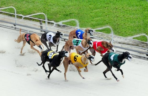 DOWN THE HOMESTRETCH AT THE PALM BEACH KENNEL CLUB